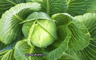 Разрешенные сорта капусты при грудном вскармливании