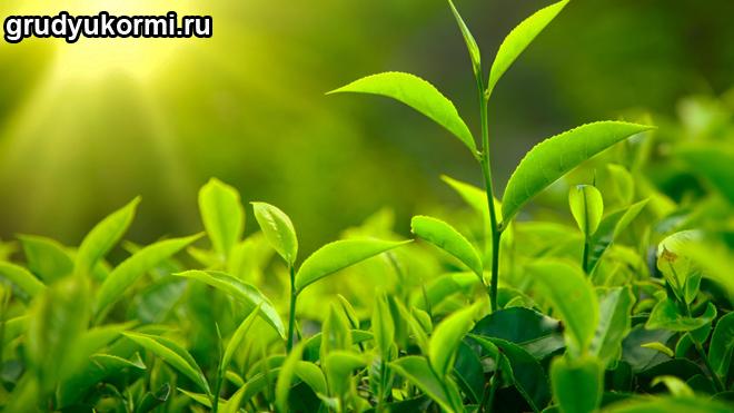 Зеленый чай в природе