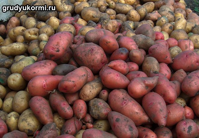Картошка россыпью